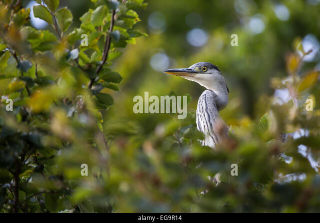 Grey Heron in tree. Richmond Park, London, UK - Stock Image
