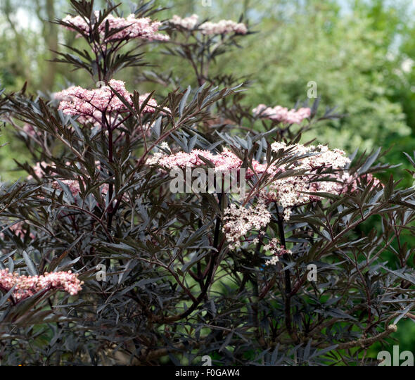 sambucus nigra 39 black lace 39 stock photos sambucus nigra 39 black lace 39 stock images alamy. Black Bedroom Furniture Sets. Home Design Ideas