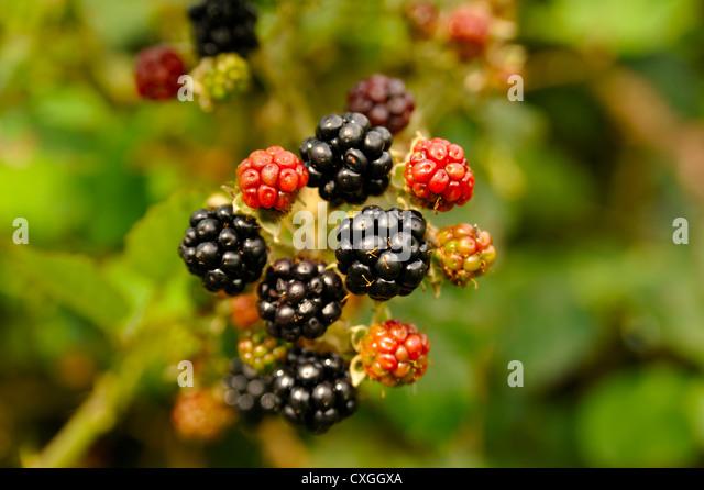 WILD BLACKBERRIES GROWING - Stock Image