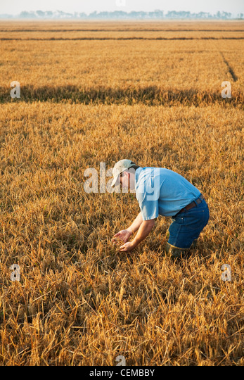 A crop consultant in the field inspects a nearly mature rice crop in order to determine when the harvest will begin - Stock Image