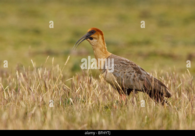Black-faced Ibis (Theristicus melanopis) perched on paramo vegetation in the highlands of Ecuador. - Stock Image