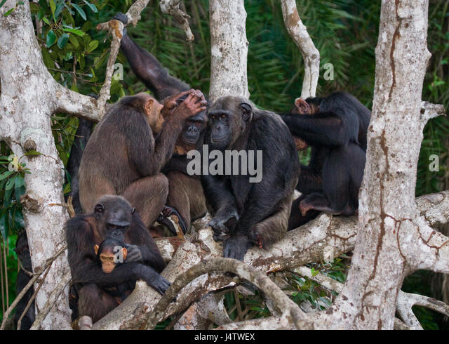 Chimpanzees on mangrove branches. Republic of the Congo. Conkouati-Douli Reserve. An excellent illustration. - Stock-Bilder