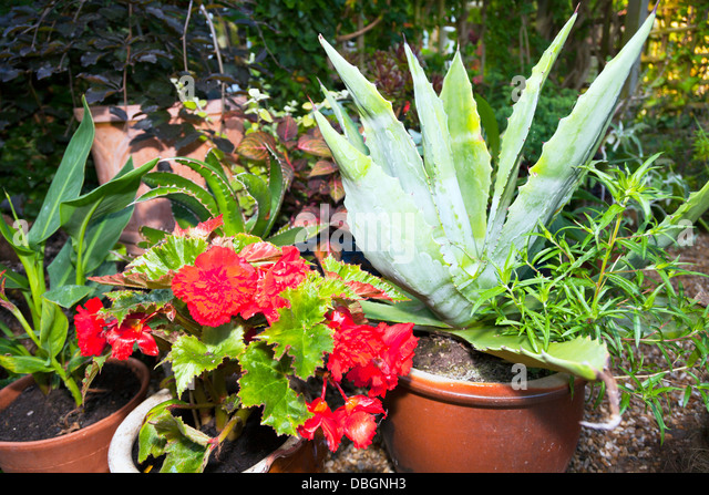 Agave with flowers stock photos agave with flowers stock for Typical landscaping plants