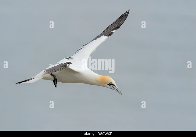 A northern gannet (Sula bassana, Morus bassanus) soaring above the North Sea off the East Riding of Yorkshire, UK. - Stock Image