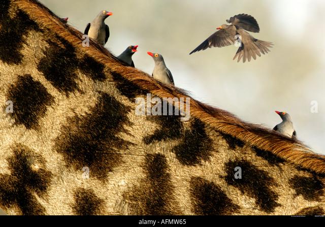 Red billed oxpeckers and giraffe Khwai Botswana - Stock-Bilder