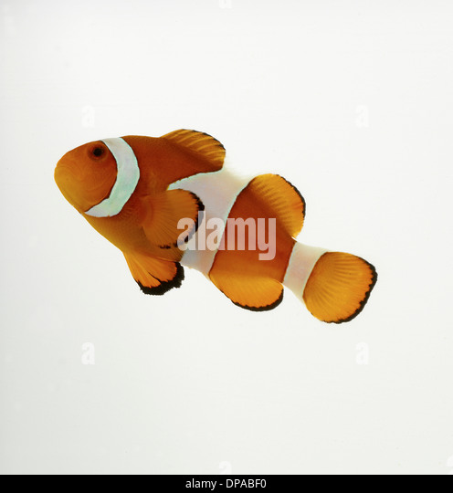 Clown Fish - Stock Image