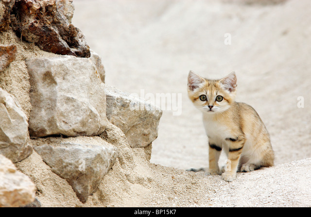 Sand cat - Stock Image
