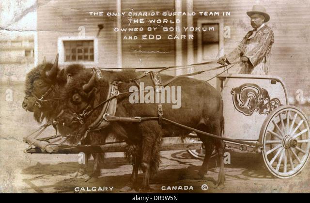 Chariot buffalo team - Stock Image