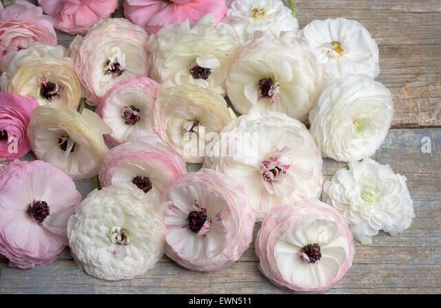Overhead shot of multi-colored ranunculus blooms - Stock Image