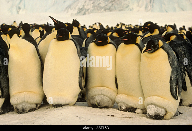 Emperor penguin Aptenodytes forsteri parents with chicks on feet in brood pouches Cape Crozier Ross Island Antarctica - Stock Image
