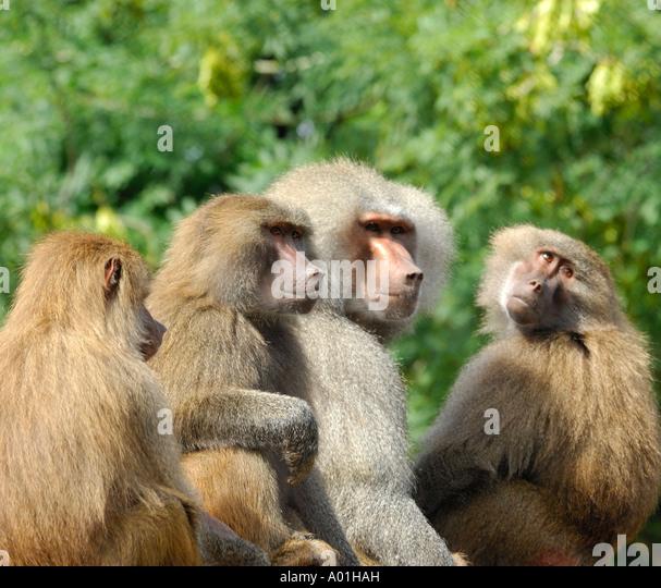 Intime Nahaufnahmen Porträt einer Gruppe von Hamadryas Paviane Papio Hamadryas mit schön unscharfen Hintergrund Stockbild
