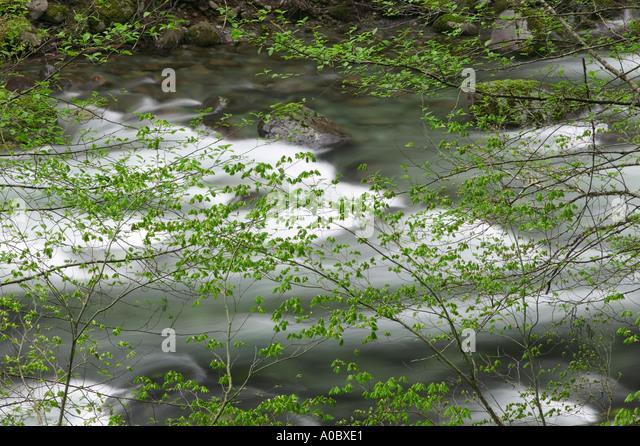 Kleiner Norden Santiam Wild and Scenic River mit dem zeitigen Frühjahr Wachstum auf Vine Ahornbäume Willamette Stockbild