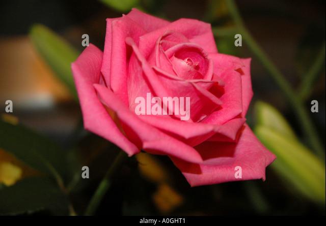 Blumen, ROSE, PINK, grün, Farbe, Farbe, Mode, Stockbild
