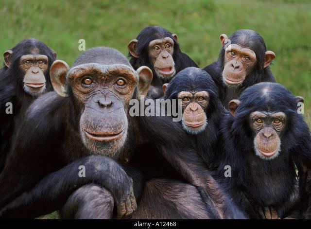 Verwaiste Schimpansen Monkey World Ape Rescue Centre UK Stockbild