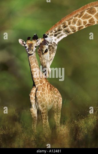 Giraffe und junge Südafrika - Stock-Bilder
