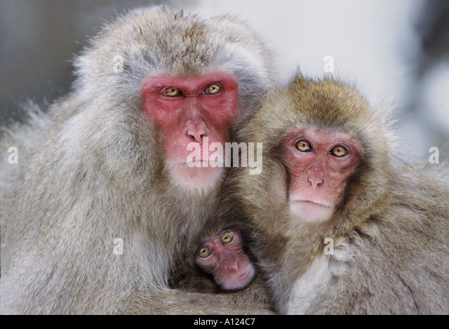 Schnee-Affen-Familie Jigokudani Nationalpark Japan Stockbild