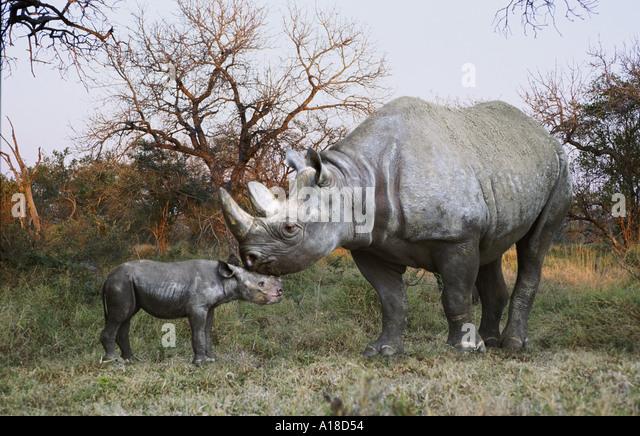 Spitzmaul-Nashorn Mutter und baby Stockbild