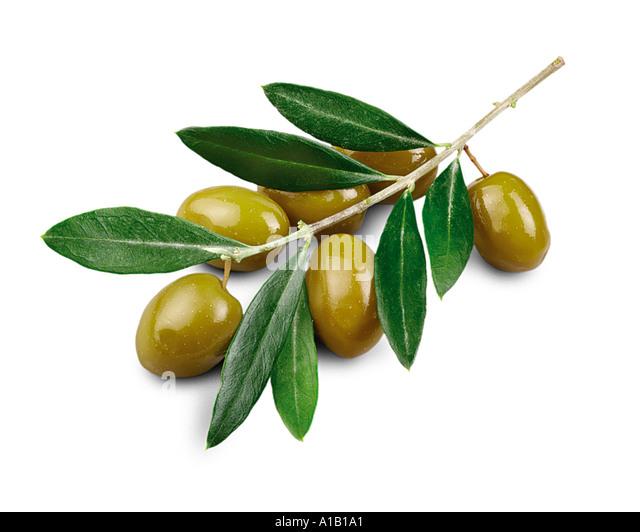 grüne Oliven am Zweig Stockbild