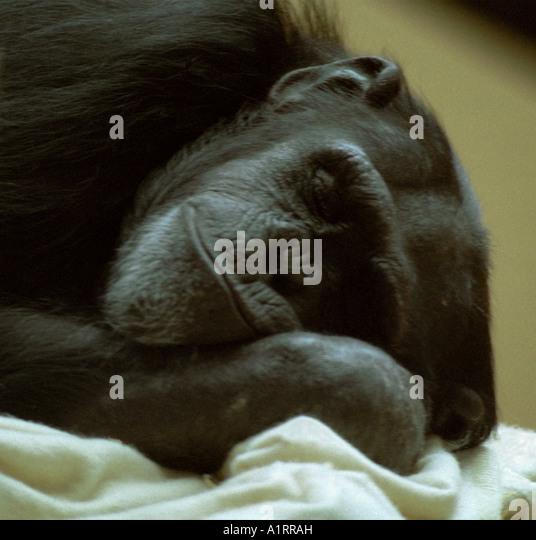 Schimpanse einen Schlaf Stockbild