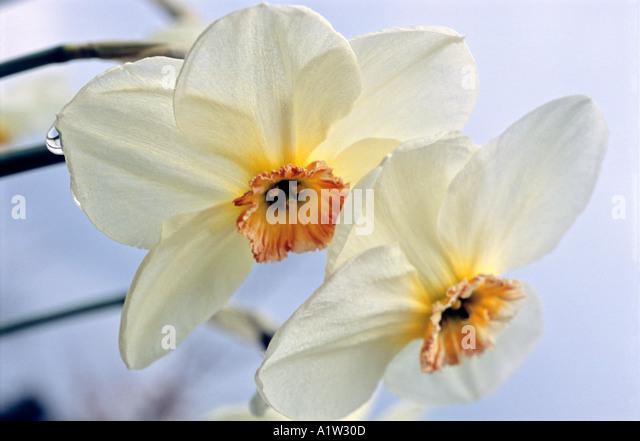Frühling-Narzisse [var. Elizabeth Ann] Stockbild