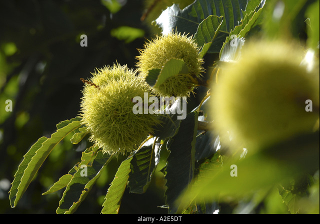 September 2006 in Andalusien Spanien Bild von Andrew Hasson wachsen Kastanien Stockbild