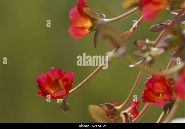 Schöne rosa Blüten wächst wild im südlichen Andalusien in Spanien. Stockbild