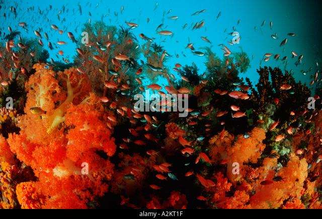 bunte Korallenriff mit Weichkorallen und anthias Stockbild