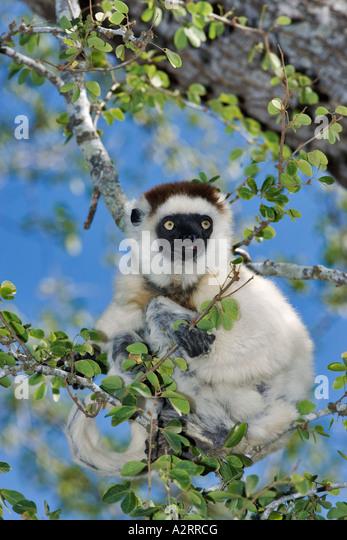 Verreauxs Sifaka Propithecus Verreauxi Madagaskar Stockbild