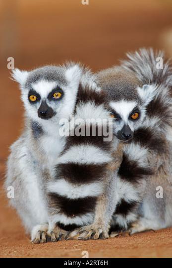 Ring-tailed Lemur Lemur Catta Gruppe zusammengedrängt warm Madagaskar zu halten Stockbild