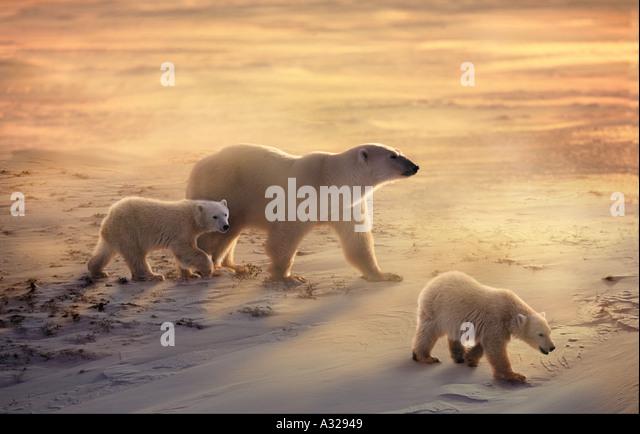 Eisbär-Mutter und jungen in den Schnee und Wind Cape Churchill Manitoba Kanada Stockbild