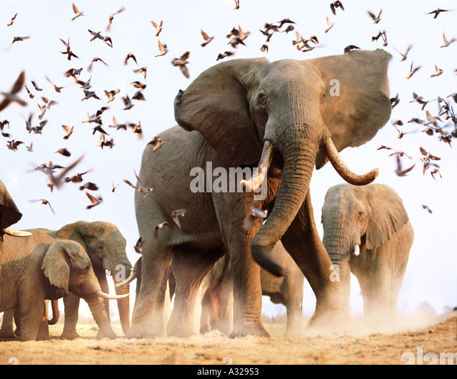 Afrikanische Elefanten stören Vogelschwarm Savuti Botswana Stockbild