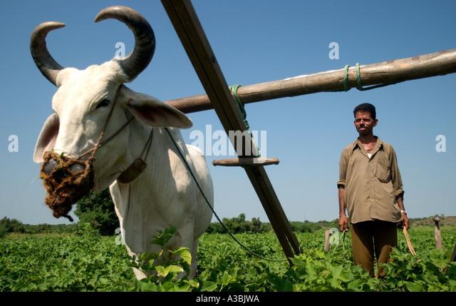 Bauern arbeiten auf den Baumwollfeldern in Gujarat, Indien. Er liefert Marks and Spencer mit Fairtrade-Baumwolle - Stock-Bilder