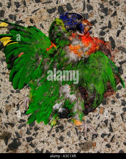 Eine bunte Allfarblori abgeflacht durch Pkw-Verkehr auf einen Betonweg in Australien Stockbild