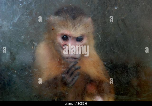 Ein Captive Kapuziner Affe, In seinem Gehäuse in A Wildlife Center In Staffordshire, UK. Stockbild