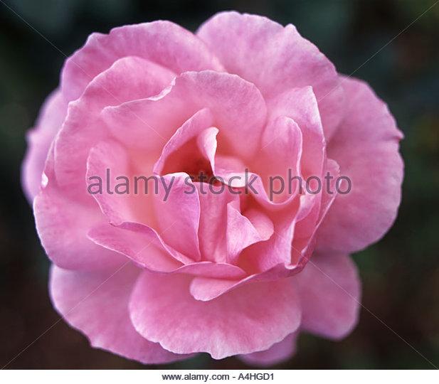 Rosa Queen Elizabeth Stockbild