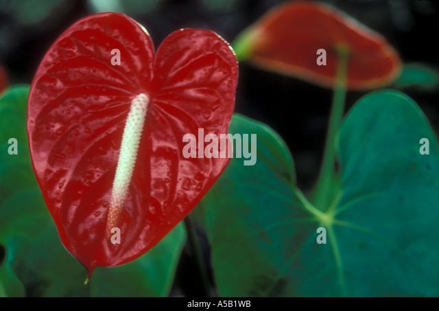 anthurium flower big island hawaii stockfotos anthurium. Black Bedroom Furniture Sets. Home Design Ideas