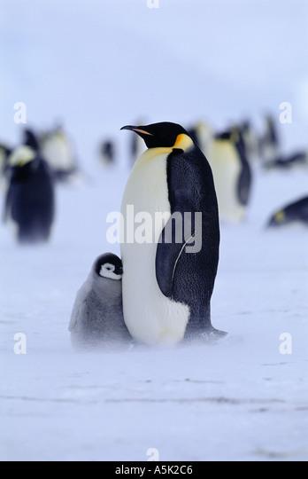 Kaiser-Pinguin-Aptenodytes Forsteri Erwachsener mit Küken Weddellmeer Antarktis Stockbild
