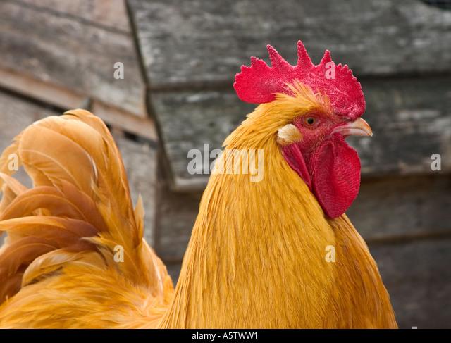 Eine legendäre Aufnahme eines Huhns. Stockbild