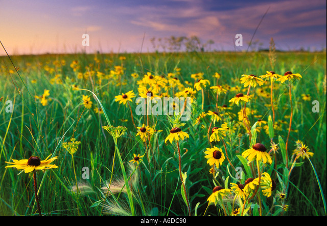 Wild Prairie Blumen in Minnesota Stockbild