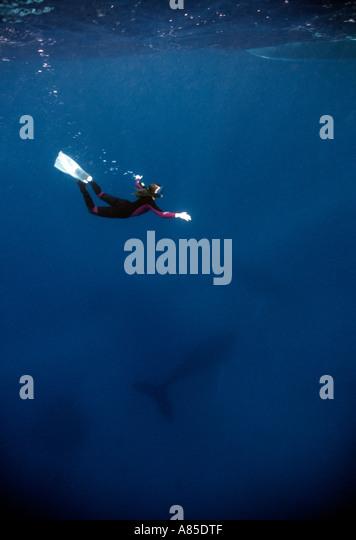 Silverbanks Dominikanische Republik Unterwasser Buckelwal und Freitaucher Impressionen novaeangliae Stockbild