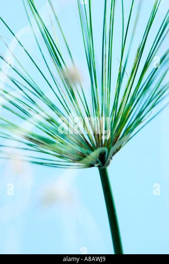 """Abstraktes Bild von Papyrus grass 'Cyperus Papyrus""""weichen blauen Hintergrund Stockbild"""