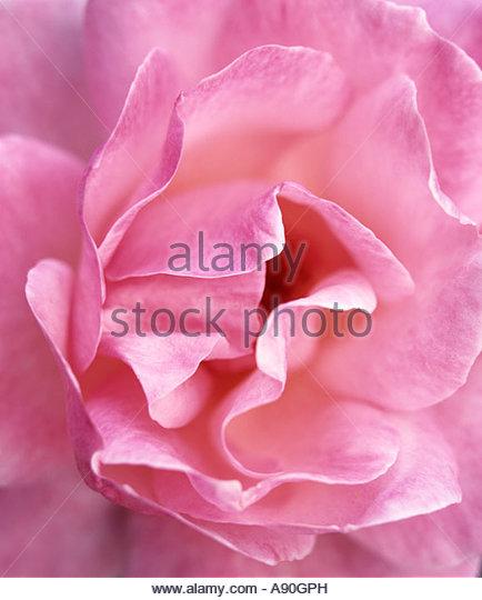 Rosa Queen Elizabeth, Queen Elizabeth Rose Double duftenden hellrosa Blüten auf langen steifen stammt von Juli Stockbild