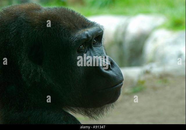 Nahaufnahme von Gorilla Gesicht Stockbild