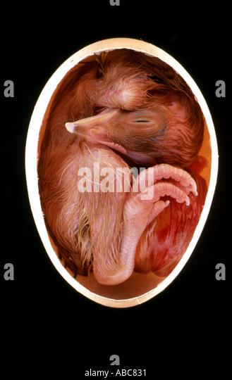 Küken Ei Embryo 21 Tage alt in ei Stockbild