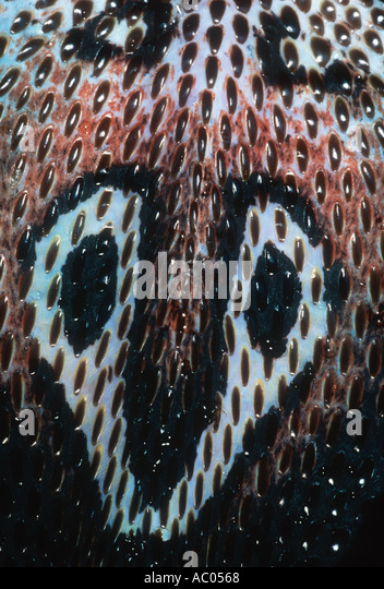 Spectacled Cobra Naja Naja zeigt Schauspiel Markierung auf dem Rücken. Asien Stockbild