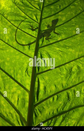 Einen grünen crested Basilisk Umriss (Basiliskos Plumifrons), Hintergrundbeleuchtung genommen. Alocasia Macrorrhiza. Stockbild