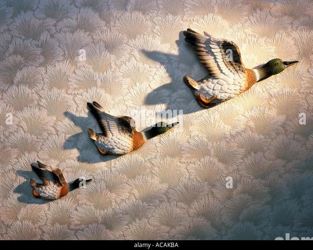 Drei fliegende Enten an der Wand Stockbild