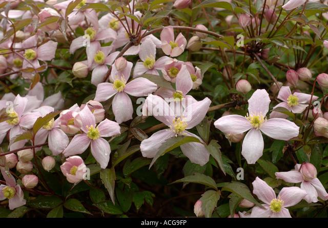 Clematis Montana Elizabeth Blumen auf einem Garten Bergsteiger Stockbild
