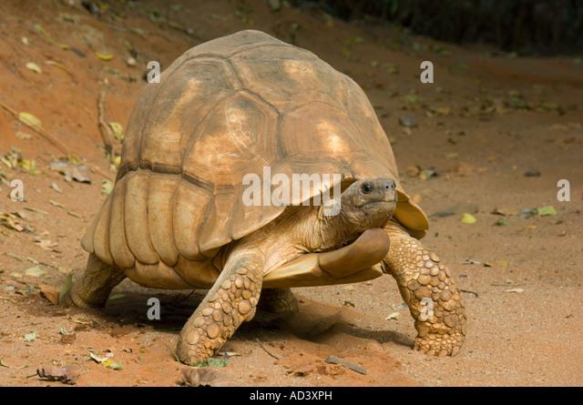 Madagaskar Pflugschar Schildkröte (Geochelone Yniphora) gefährdete Madagaskar männlich Stockbild