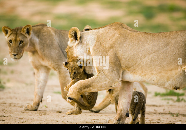 Löwin mit jungen cub Stockbild